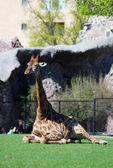 Giraffe portrait lying on green grass. — Stock Photo