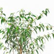 Myrtle tree on white background — Stock Photo