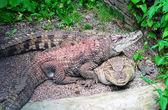 Two crocodiles — Stock Photo