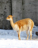 Lama baby animal outdoors in winter — Stock Photo