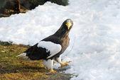 Eagle walking on white snow background — Stock Photo
