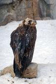 Eagle portrait in winter — Stock Photo