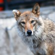 A wolf looking at camera — Foto Stock