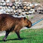 Running capibara. — Stock Photo #47534939
