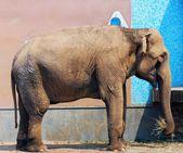 Bebek fil. — Stok fotoğraf