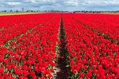 美丽的红色荷兰郁金香字段 — 图库照片