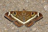 Noční motýl — Stock fotografie