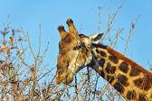 Giraffe eating — Stock Photo