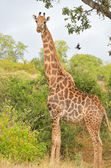 African giraffe in Kruger national park — Foto de Stock