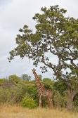 African giraffe in Kruger national park — Stock Photo