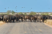 Buffalos crossing road in Kruger national park — Stock Photo