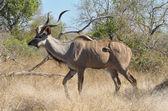 Impala antelope in Kruger National Park — Stock Photo