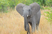 Elephant calf in Kruger national park — Stock Photo