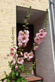 Pink hollyhock (Althaea rosea) — Foto Stock