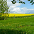 Stock Photo: Blooming yellow rape field summer landscape