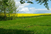 Blooming yellow rape field summer landscape — Stockfoto