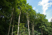 Beautiful Forest landscape with tall trees — Photo