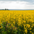 Stock Photo: Blooming yellow rape field