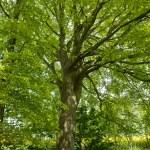 Beech canopy green leaves tree — Stock Photo #13519815