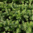 Christmas pine fir tree branches — Stock Photo #30195437
