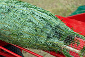 Spruce pine tree for Christmas — Stock Photo