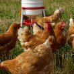 Free range organic chickens — Stock Photo