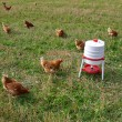 Free range organic chickens — Stock Photo