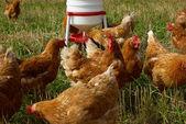 Vrije uitloop biologische kippen — Stockfoto