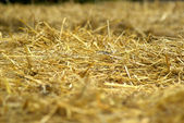 Hay straw in close up — Stock Photo