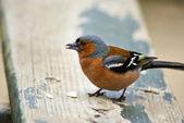 Sparrow bird — Stock Photo