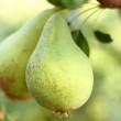 Riped pears — Stock Photo