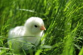 Fluffy chicken in the green grass — Stock Photo