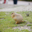 Prairie Dog — Stock Photo #15842555