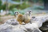 Suricate or meerkat — Stock Photo
