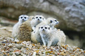 Suricate or meerkat — Stockfoto