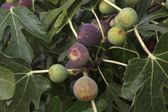 Figs — Stock Photo