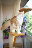Maine Coon Kitten sitting on the scratching post — Stock Photo