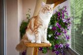 Maine coon kitten zittend op de krassende post — Stockfoto