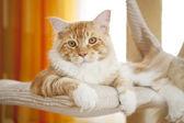 Maine Coon Kitten — Stockfoto
