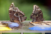 Two Blue Morphus butterfly — Stock Photo