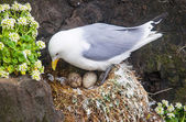 Kittiwake on a nest with two eggs — Foto de Stock