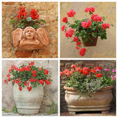 Set of flowering red plants in rustic containers — Stock Photo