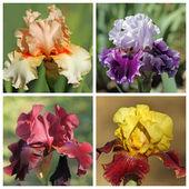 Zestaw multicolor brodaty iris — Zdjęcie stockowe