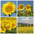 Collage with sunflowers - Foto Stock