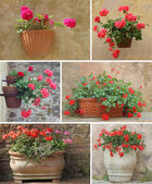 Collage with geranium flowers in rustic terracotta pots — Stock Photo