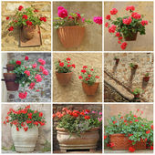 Collage mit geranium blumen in vintage-containern — Stockfoto