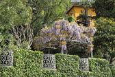 Zelená oplocení, kvetoucí wisterie a villa — Stock fotografie