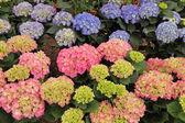 Multicolor hortensia ( hydrangea ) flowers — Stock Photo