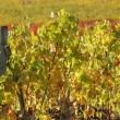 Viticulture in autumnal colors — Stock Photo