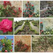 Rose garden — Stock Photo #18060133